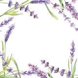 Quadro da flor da alfazema do Wildflower em um estilo da aquarela ilustração do vetor
