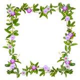 Quadro da flor da trepadeira isolado Fotos de Stock