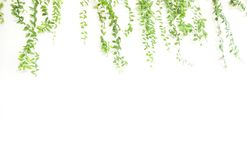 Quadro da planta de escalada isolado no branco Foto de Stock