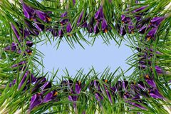 Quadro das flores e das folhas dos açafrões Fotografia de Stock Royalty Free