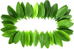 Quadro das folhas isoladas Foto de Stock