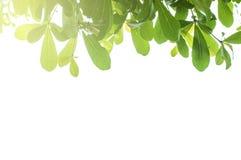 Quadro das folhas verdes frescas Imagens de Stock