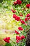 Quadro das rosas Imagens de Stock Royalty Free