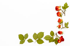 Quadro das rosas das flores com folhas verdes em um fundo branco Teste padrão de flor para cartões para o feriado, casamento, ani Imagens de Stock Royalty Free