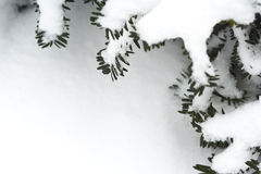 Quadro de filiais do pinho com neve Imagens de Stock