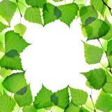 Quadro do ramo do vidoeiro da mola com folhas verdes Fotografia de Stock Royalty Free