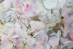 Quadro do rosa e da hortênsia bege, fundo contínuo de muitas cores Vista de acima Fundo do casamento Fundo do Valentim com imagem de stock royalty free