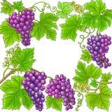 Quadro do vetor das uvas imagem de stock royalty free