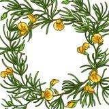 Quadro do vetor do ramo de Rooibos ilustração royalty free
