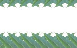 Quadro feito das folhas verdes da árvore de manga isoladas no backg branco Imagens de Stock