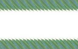 Quadro feito das folhas verdes da árvore de manga isoladas no backg branco Imagem de Stock Royalty Free