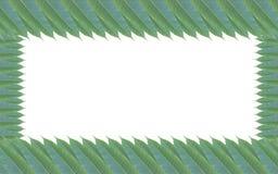Quadro feito das folhas verdes da árvore de manga isoladas no backg branco Imagem de Stock
