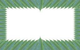 Quadro feito das folhas verdes da árvore de manga isoladas no backg branco Fotos de Stock Royalty Free