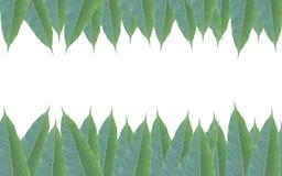 Quadro feito das folhas verdes da árvore de manga isoladas no backg branco Fotos de Stock