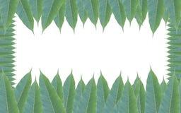 Quadro feito das folhas verdes da árvore de manga isoladas no backg branco Imagens de Stock Royalty Free