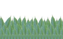 Quadro feito das folhas verdes da árvore de manga isoladas no backg branco Fotografia de Stock