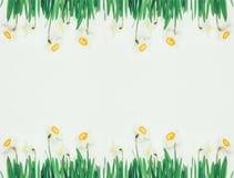 Quadro floral da mola de narcisos amarelos das flores no fundo branco com espaço para o texto Imagens de Stock Royalty Free