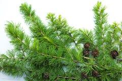 Quadro, fundo com ramos de árvore e cones Fotos de Stock Royalty Free