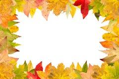 Quadro sazonal das folhas de bordo outonais isoladas no branco Imagem de Stock Royalty Free