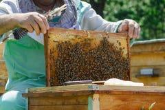 Quadros de uma colmeia da abelha Apicultor que colhe o mel Apicultor Inspecting Bee Hive imagens de stock royalty free