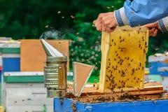 Quadros de uma colmeia da abelha Apicultor que colhe o mel Apicultor Inspecting Bee Hive fotografia de stock royalty free
