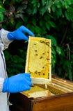 Quadros de uma colmeia da abelha Apicultor que colhe o mel Apicultor Inspecting Bee Hive imagem de stock royalty free