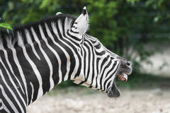 Quagga. With open mouth and grin teeth Stock Photos