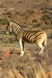 Quagga. In the Karoo National Park royalty free stock images