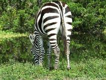 Quagga d'Equus de zèbre Image libre de droits
