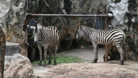 Quagga de las cebras o del Equus en el parque del parque zoológico de Dusit o de Wana del dinar de Khao en Bangkok, Tailandia almacen de video