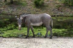 Quagga simple d'Equus de zèbre au point d'eau photo libre de droits