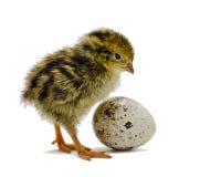 Quaglia dell'uccellino implume e l'uovo della quaglia isolato su bianco Immagine Stock