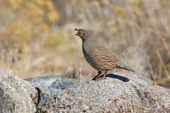 Quaglia di California selvaggia che sta sulla pietra nel Nevada Fotografia Stock Libera da Diritti