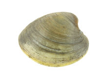 Quahog Stock Photos