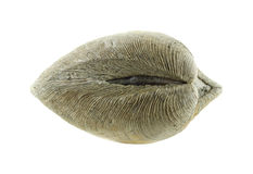 Quahog clam muscle Royalty Free Stock Photo