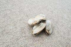 Quahogs или Clams в реальном маштабе времени Трудно-раковины на текстурированной поверхности стоковая фотография