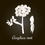 Quai της Angelica, archangelica ή ήχων καμπάνας, ή θηλυκό ginseng Λουλούδι και ρίζα Άσπρη σκιαγραφία Στοκ Φωτογραφία