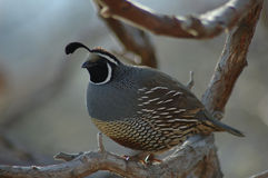 Quail. Sitting on the tree royalty free stock images