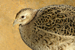 Quail Stock Photo