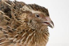 quail royaltyfri bild
