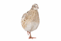 Quail Stock Photography