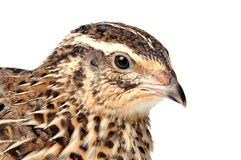 Quail. Japanese Quail face of a white background Stock Photography