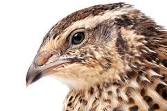 Quail. Japanese Quail face of a white background Royalty Free Stock Images