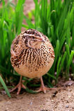Quail. A mother quail is taking care of her egg in a beautiful farm Royalty Free Stock Images