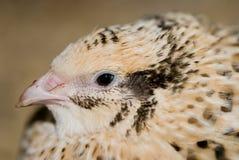 quail Arkivfoton