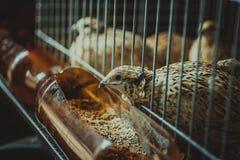 quail Arkivfoto