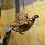 Quail Royalty Free Stock Photography