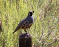 quail Fotografering för Bildbyråer