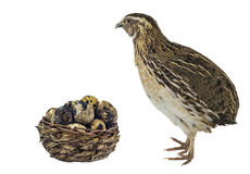 Quail And Basket With Eggs Stock Photos