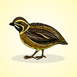 Quail. Aviculture and poultry. Stock Photography